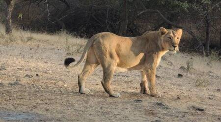 asiatic lion, asiatic lion electrocuted, gir wildlife division, asiatic lions in gujarat, indian express news