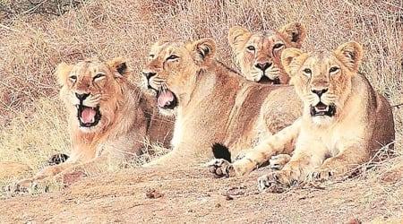 Asiatic lions, gujarat Asiatic lions, gujarat Asiatic lions translocation, gujarat Asiatic lions transfer to madhya pradesh, indian express news