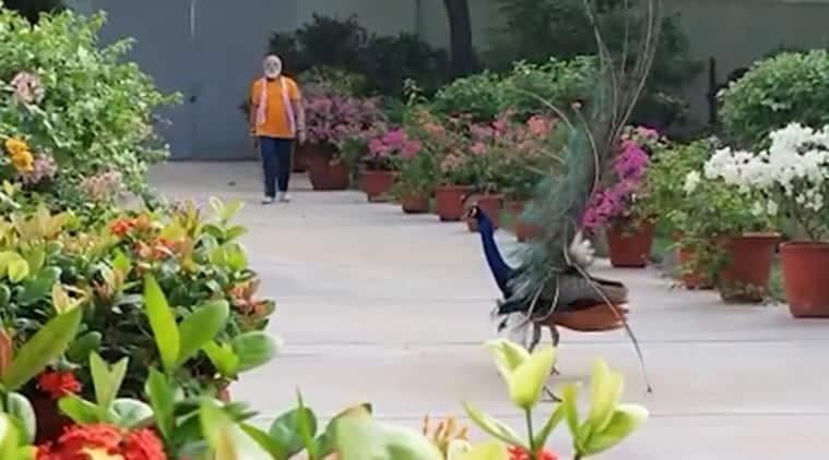 PM Narendra Modi feeds peacock viral video, PM Narendra Modi trending