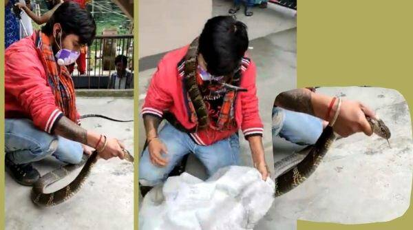snake, King Cobra rescue viral video, Nainital, Nainital king cobra rescue video twitter, trending, indian express,