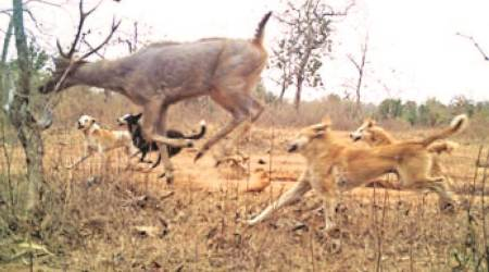 What camera traps saw during survey: More domestic dogs than tigers in major reserves