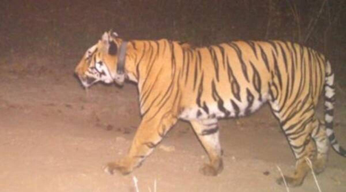 Chandrapur tiger, Chandrapur tiger kill, nagpur forest dept, Chandrapur tiger capture, indian express news