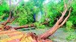 mumbai mosnoon, mumbai rains, mumbai tress uproot, bmc, uprooted tress replant, mumbai weather, indian express news
