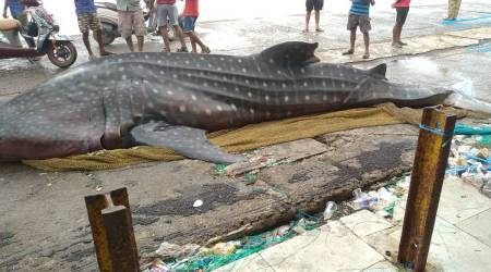 Dead whale shark found at Mumbai's Sassoon Dock, probe ordered