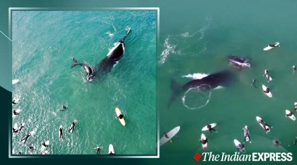 whale tail whip surfers, mother whale splash surfers to protect calf, mother whale calf manly beach encounter, whales surfers video, viral videos, australia news, indian express