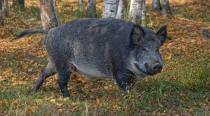 German nudist chases down boar after animal runs away with his laptop, photos go viral