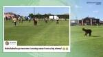 Alpaca, Alpaca videos, Alpaca football match New Yorkshire, Alpaca in football pitch, Alpaca halts football game, Ilkley Town , Viral video, Trending news, Indian Express news.
