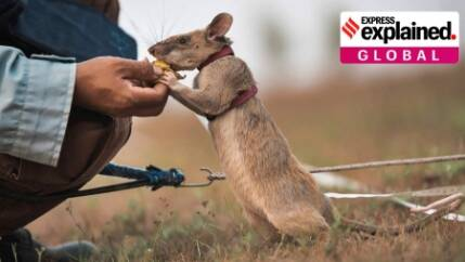 Who is Magawa, the first rat to be awarded a gold medal for bravery?