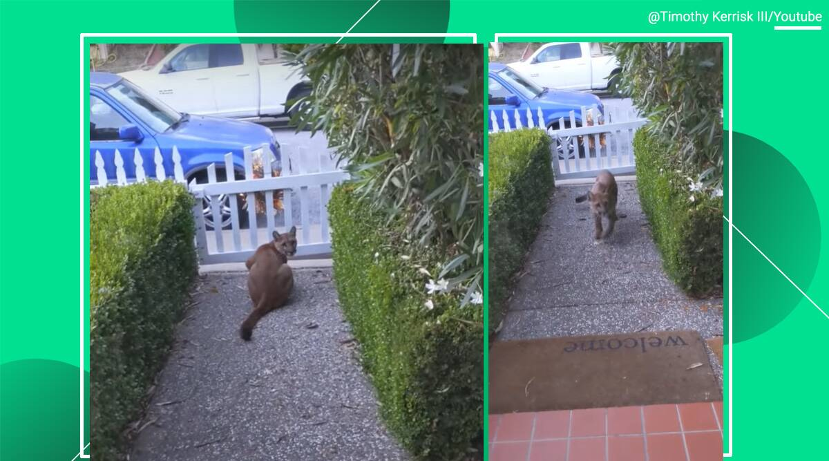 Mountain lion, California home, Pacifica, viral video, Mountain lion sighting, big cat, trending news, India Express news.