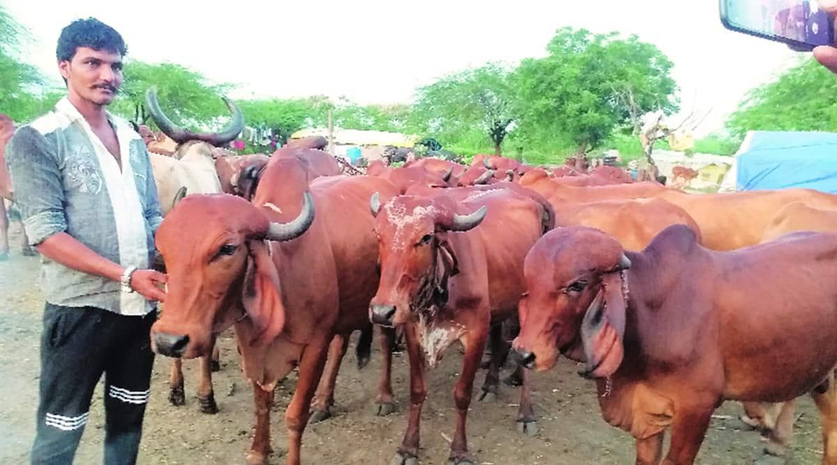 maharashtra cattle diseases, maharashtra cattle lumpy skin disease, lsd, cattle infected with lumpy skin disease, indian express news