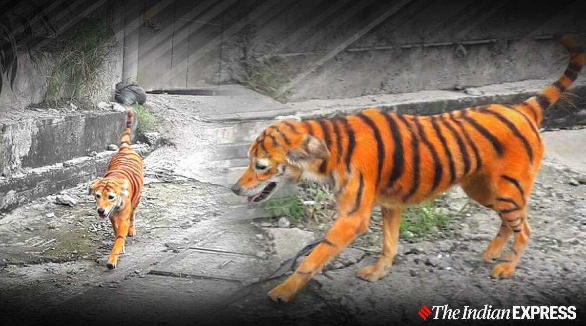 stray dog painted tiger viral picture, Malaysia Animal Association, street dog tiger viral pic, trending,