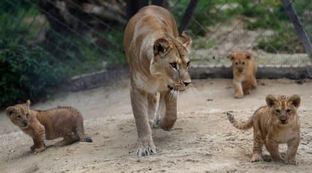 Czech Republic, Barbary lion cubs, Rare lion cubs, Czech zoo lion cubs, Trending news, Indian Express news.