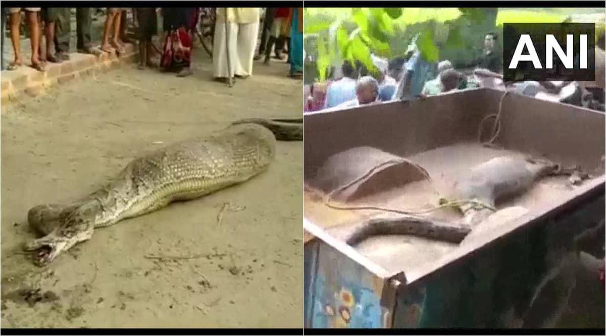 python videos, snake video, python unable to move, rampur python unable to move, viral videos, snake rescue videos, indian express, python rescue video, uttar pradesh news, Trending news