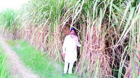 Cane crushing, sugar mills, Punjab farmers, Chandigarh news, Indian express news