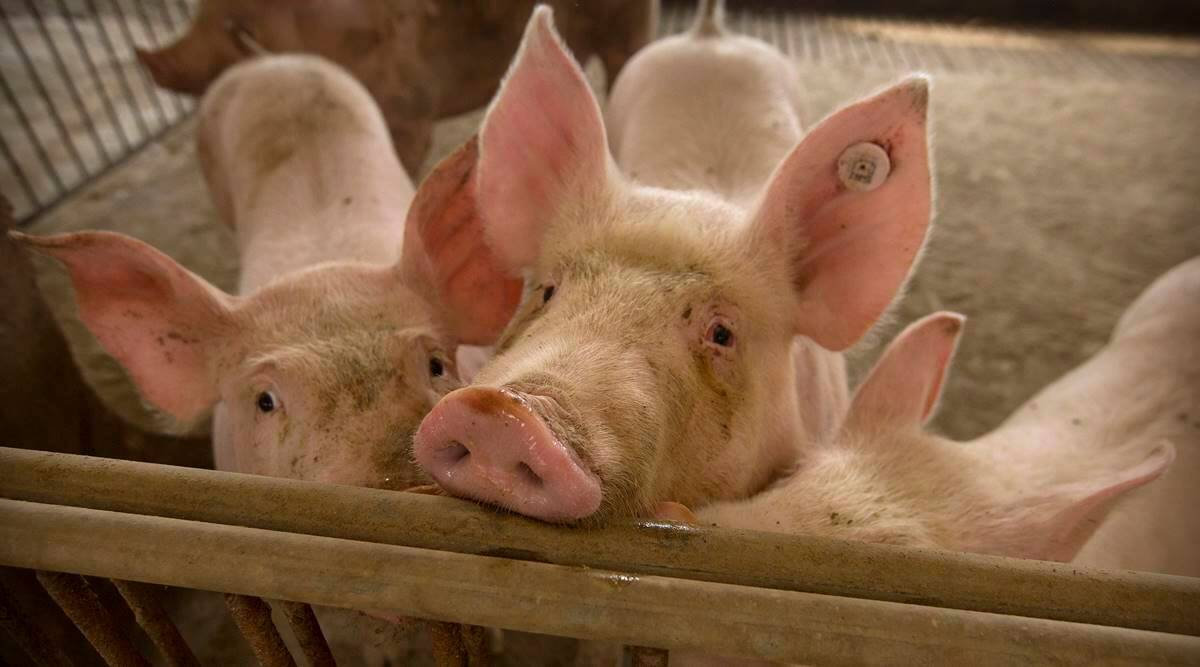 Germany confirms first case of swine fever on its territory