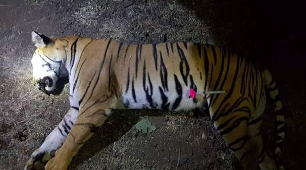 tigress in nagpur, tigress captured in nagpur, tigress attack in nagpur, nagpur wildlife department, indian express news