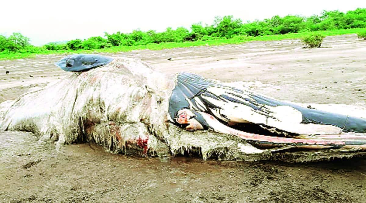 whale carcass, DNA analysis, forest department, Mumbai news, Indian express news