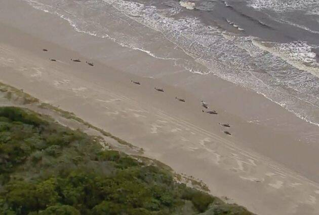 australia whales death, stranded whales australia beach, whales beach, whales death australia