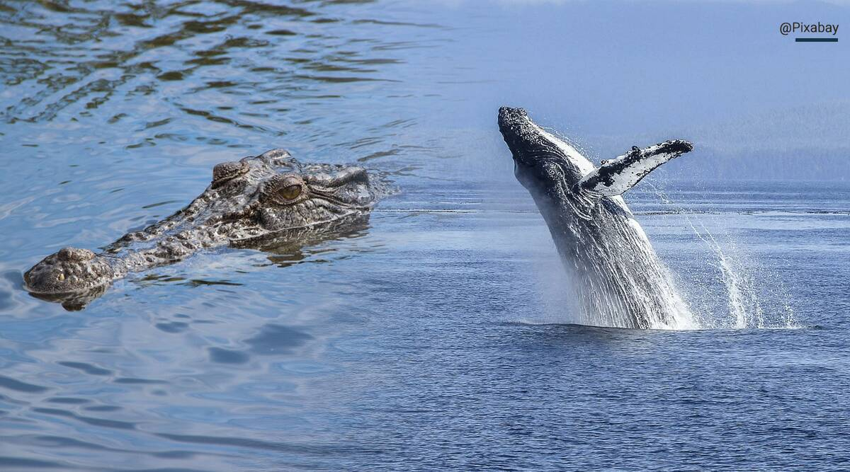 Humpback whale, Humpback whale videos, Humpback whale escapes Australian crocodile river, East Alligator River, Australian, Humpback whale, trending, indian express, indian express news