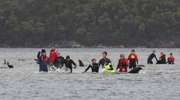australia whales death, whales, stranded whales australia beach, whales death australia, australia whales, indian express