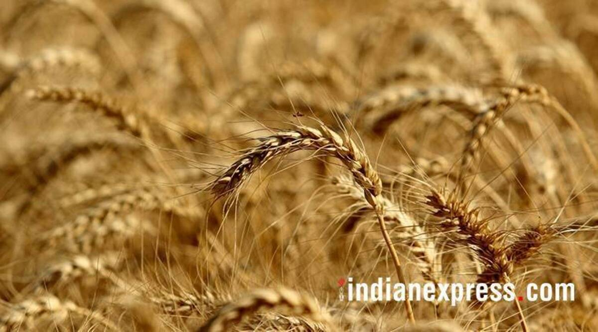Why MSP scare: Wheat farmers availing it double in 5 years, paddy up 70 per cent