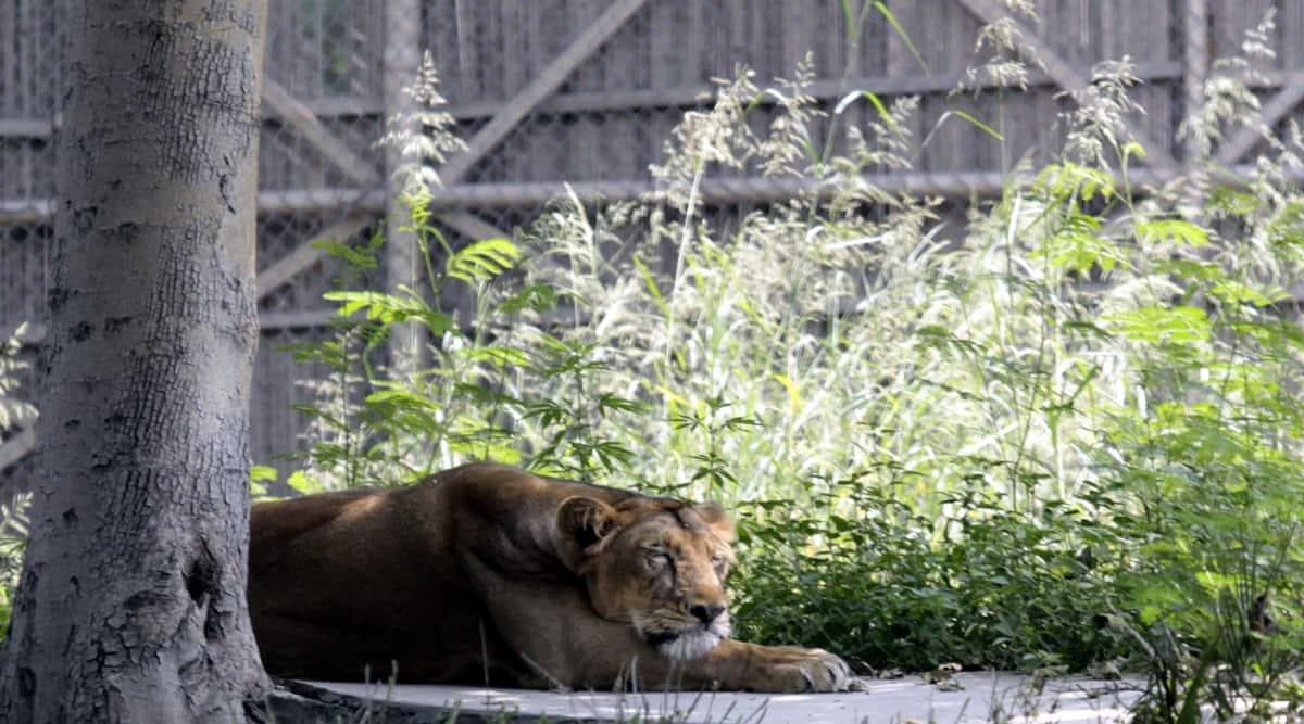 Delhi, Delhi zoo, Delhi zoo akhila, Akila lionness Delhi zoo, Delhi zoo lion dies, Delhi news, Indian Express