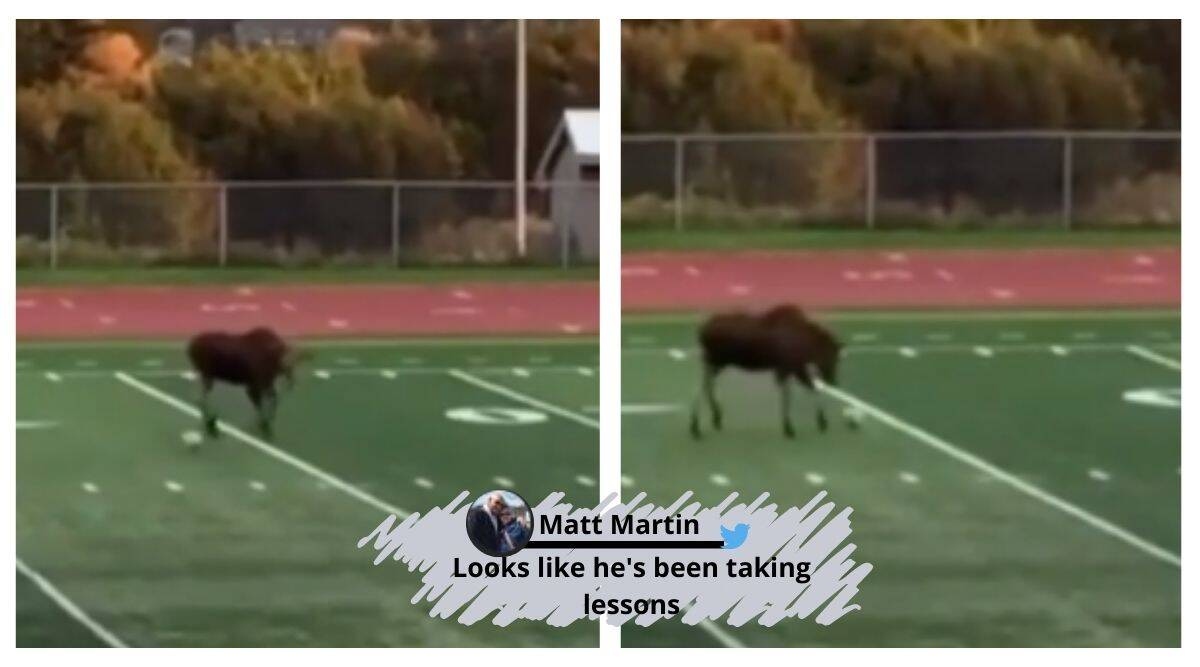Moose soccer match, moose in a soccer field, moose invades soccer field, moose interrupts soccer match Alaska, Alaska news, viral video, trending news, Indian Express news