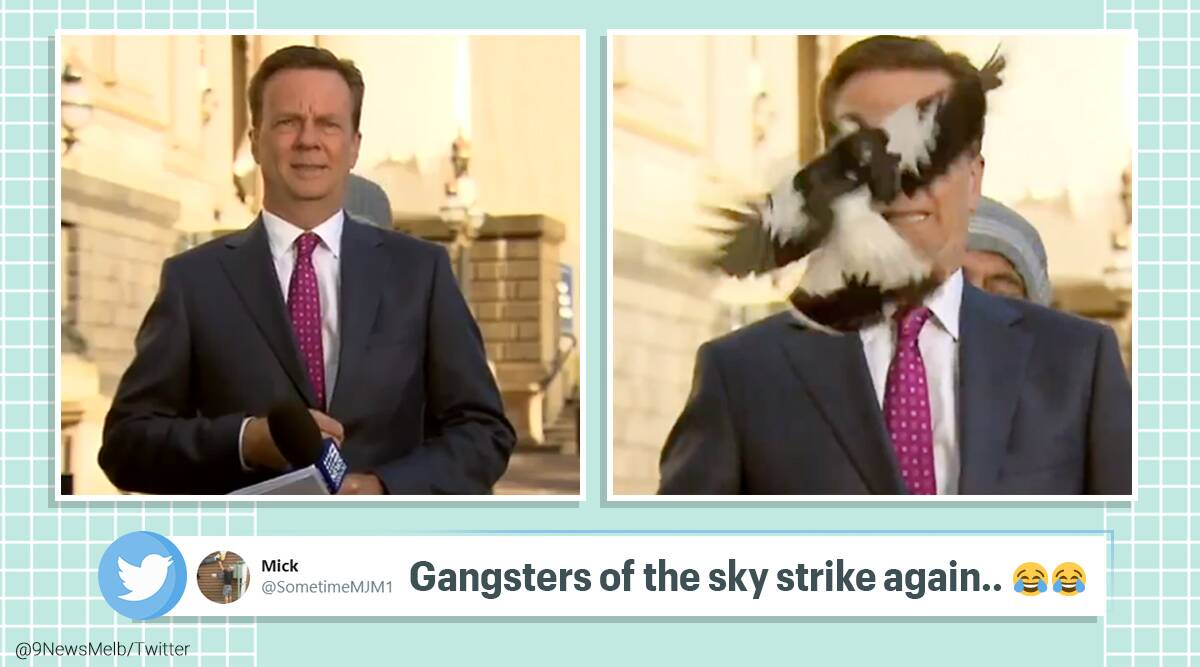 magpie attacks tv reporter, bird attack reporter live, live reporting interruptions, 9news reporter magpie attack, swooping season, australia swooping season, tv bloopers, indian express