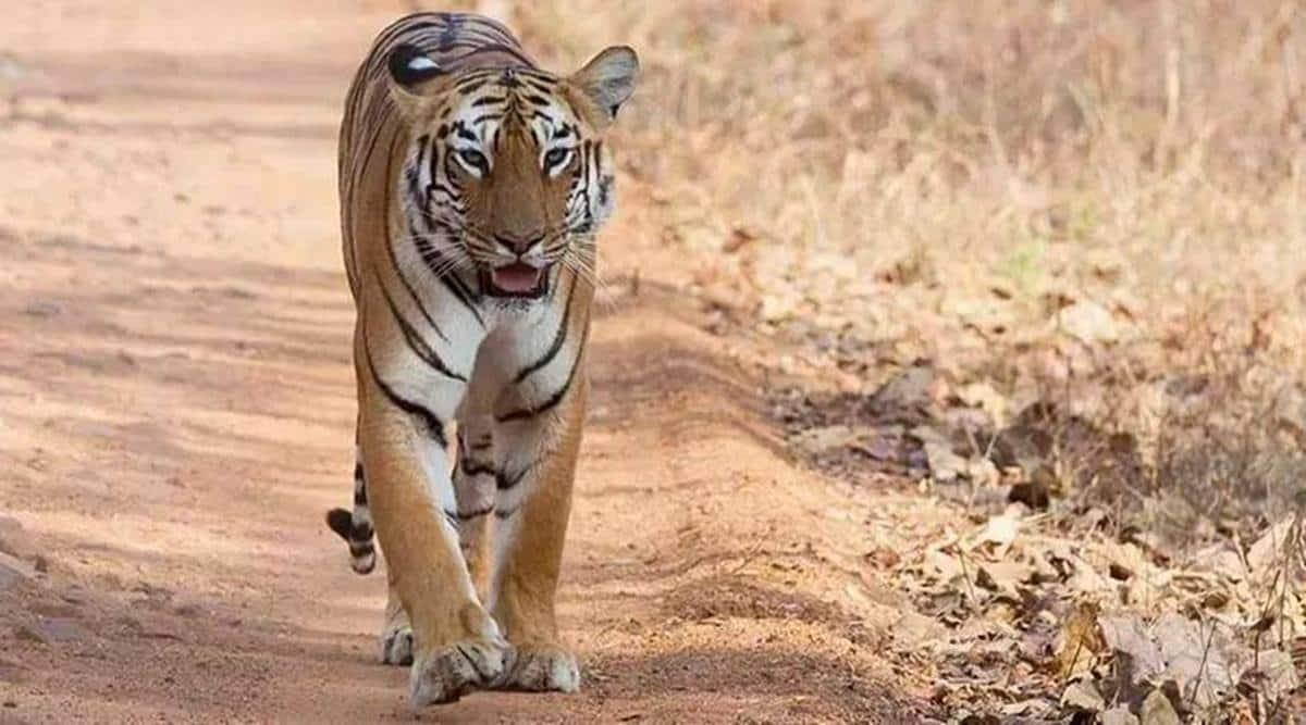 Rajura tiger, maharashtra tigers, latest news, maharashtra news, indian express