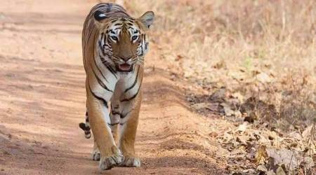 Rajura tiger, maharashtra tigers, latest news, maharashtra news, indian express