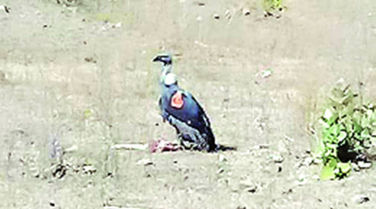 Three released vultures adapt to wilderness, tracing own source of food