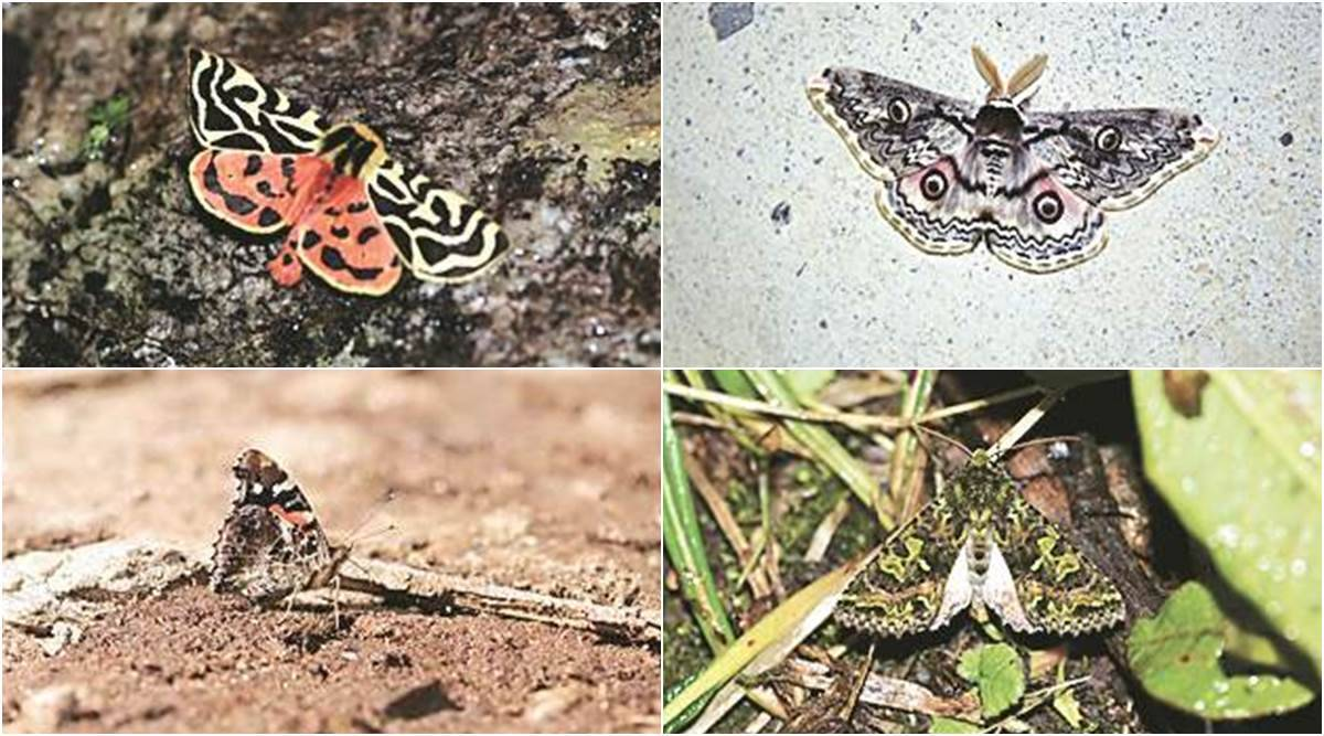 Climate change driving butterflies, moths higher up Himalayas: study