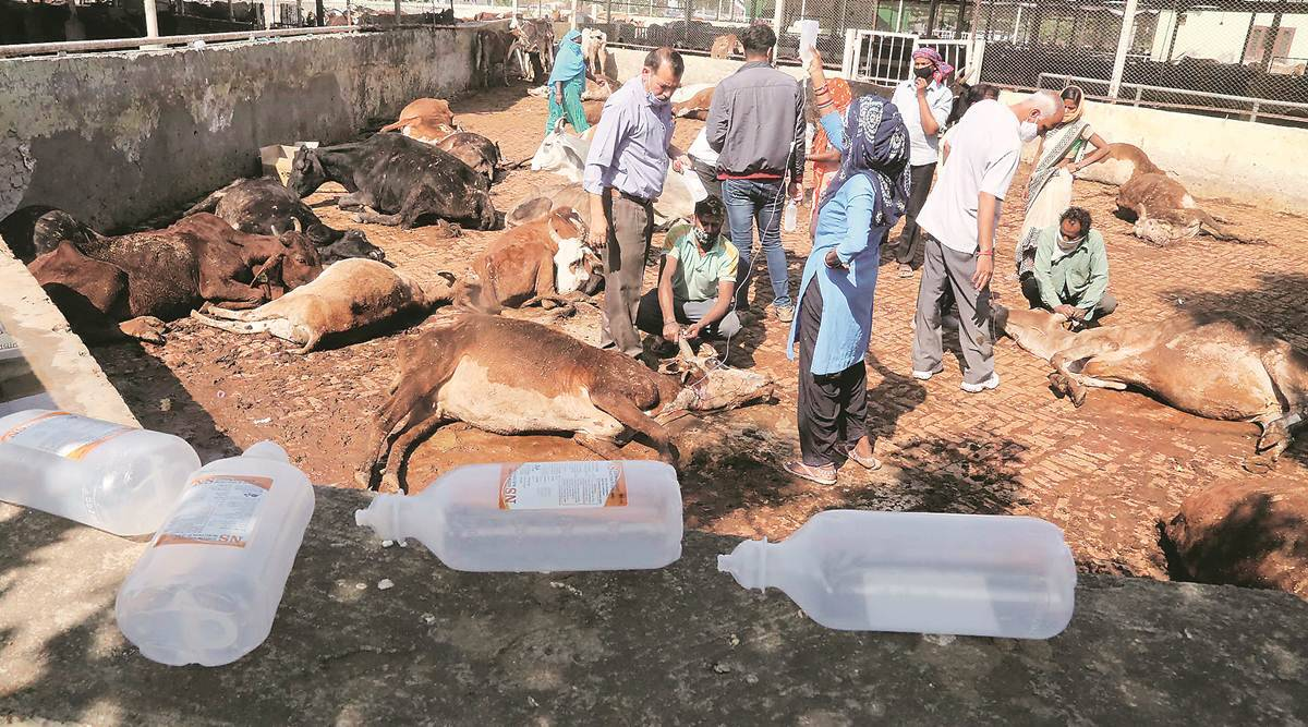 Panchkula cow death, cattle death, cattle fodder, cow food poisoning, cattle food poisoning, cattle die in Panchkula, haryana cow death, indian express