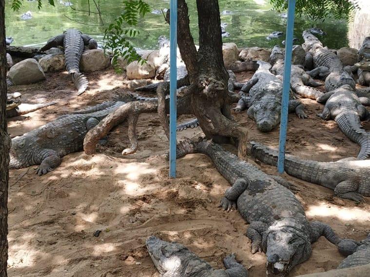 Gir forest, Gir forest girl attack, Gir forest crocodile attack, Gir crocodile attack, gujarat news, indian express