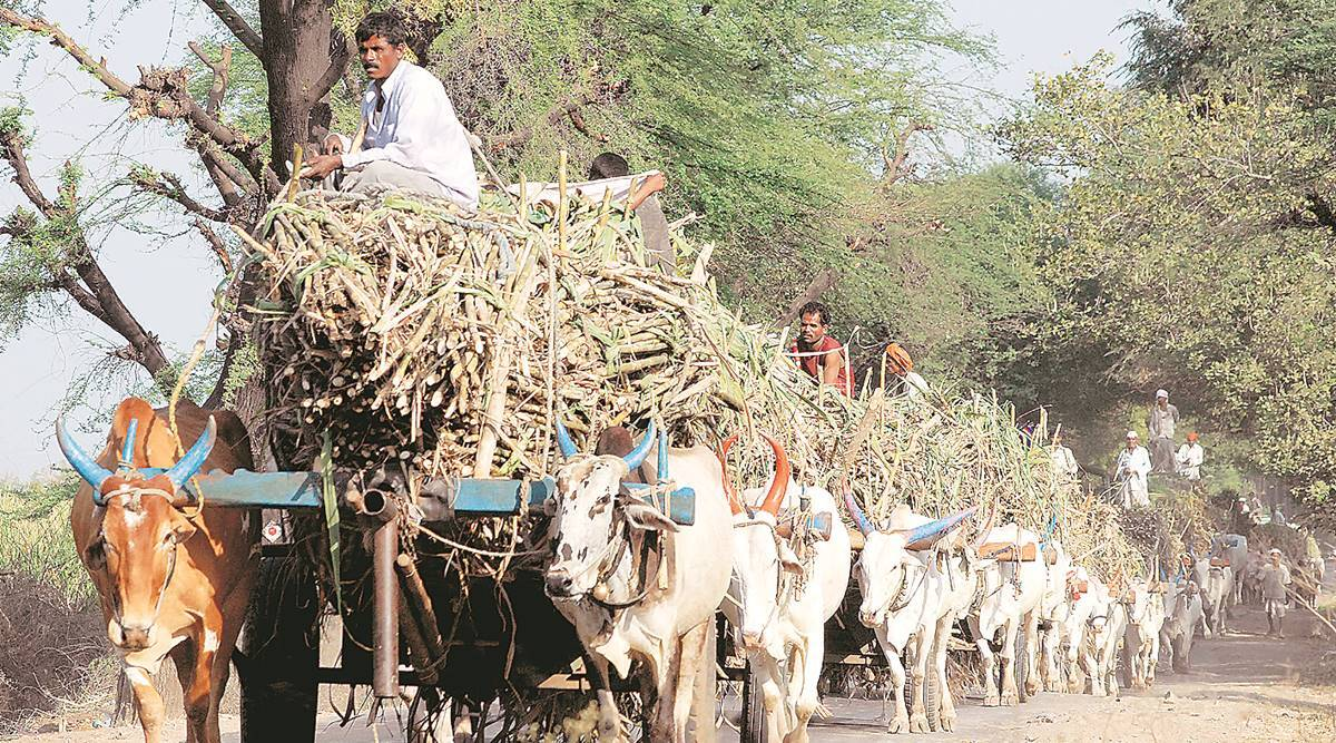 Bitter start to sugarcane season: Rs 8,400 crore in dues from mills to farmers