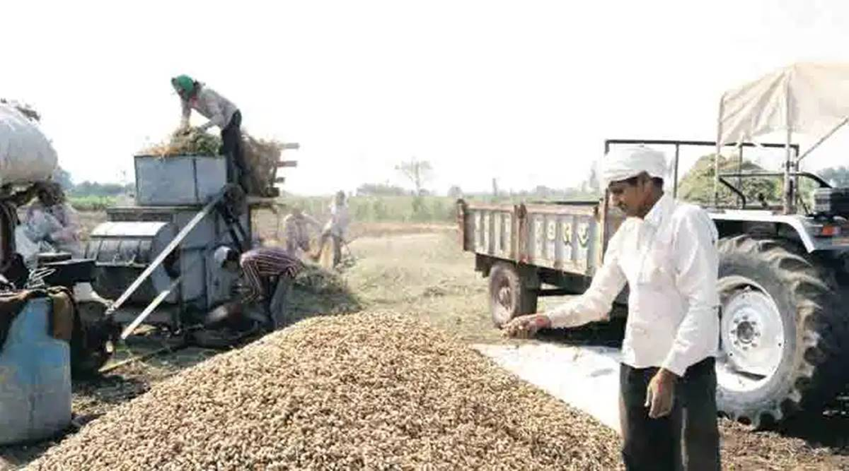 Groundnut production, Groundnut yeild, Kharif season, Gujarat farmers, Rajkot news, Indian express news