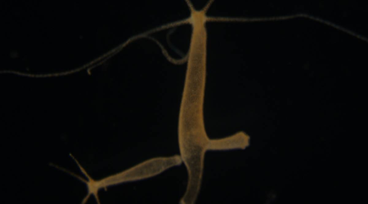 Researchers find two molecules in hydra showing how cells 'talk to each other'
