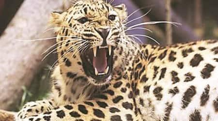 leopard greater noida, leopard in noida, leopard in dadri, leopard ntpc greater noida, noida news