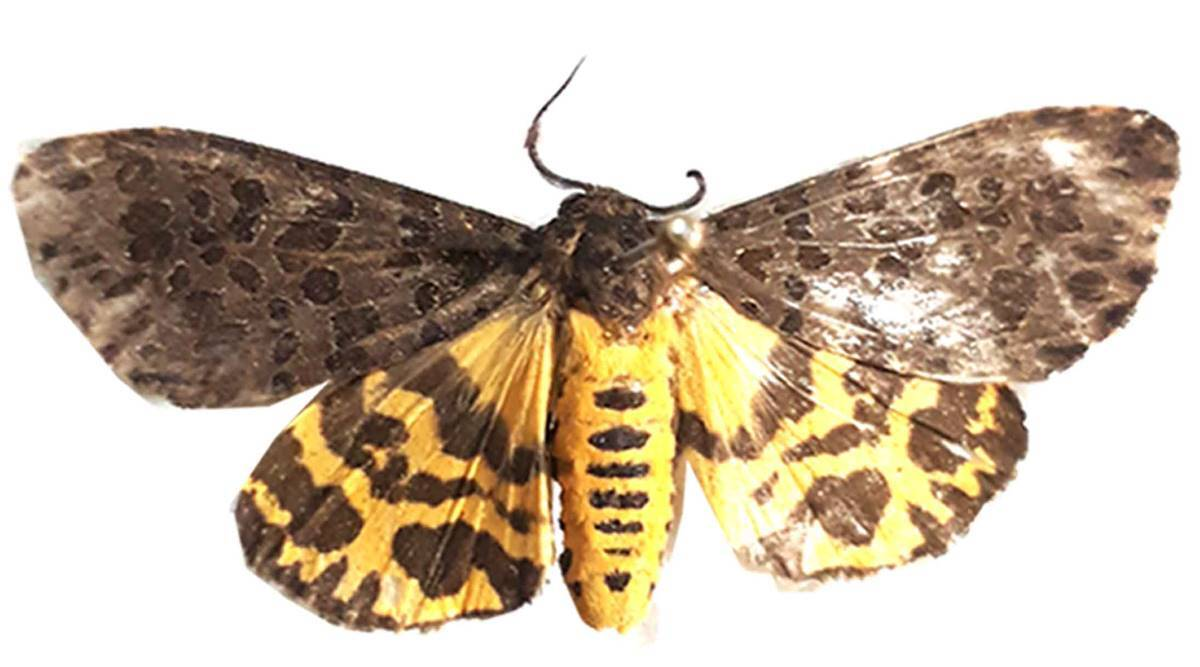 tiger moth species, new species, ZSI scientists, Pune scientists, new species in Western Ghats, Maharashtra news, Indian express news