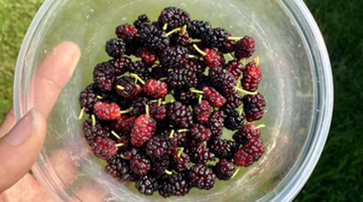 mulberry, mulberry benefits, health benefits of shehtoot, dixa bhavsar tips, indianexpress.com, indianexpress,