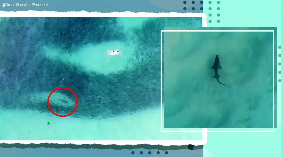 drone shark video, people close encounter with nurse shark, drone footage shark near people swimming with salmon, viral videos, australia news, indian express