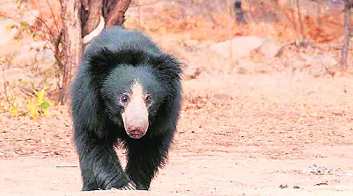 sloth bear corridor, Gujarat govt, Wildlife Board meeting, gujarat tourism, AHmedabad news, Indian express news
