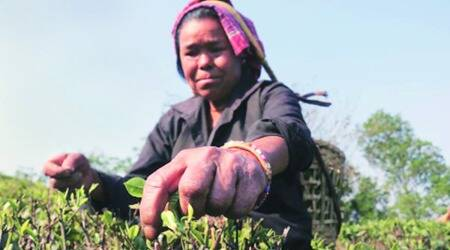 bengal tea workers salary, mamata banerjee, west bengal tea plantation, north bengal tea planters, north bengal tea planters minimum wages, indian express news