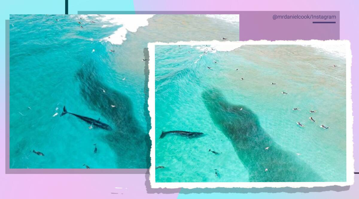 Whales, Australia, Bryde's whales, Australia, Drone footage, Viral video, Trending news, Indian Express news