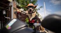 Biker dog Bogie thrills fans as he cruises Philippines highways