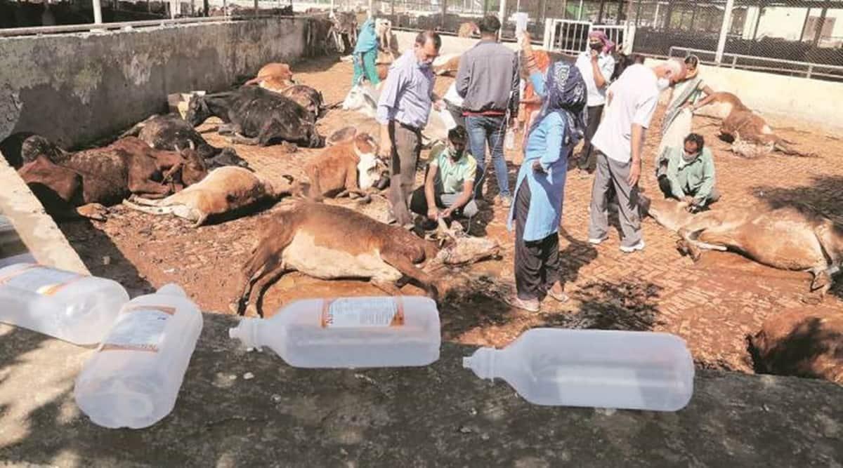 cattle death, cows dead, Panchkula cows, Panchkula cows dead