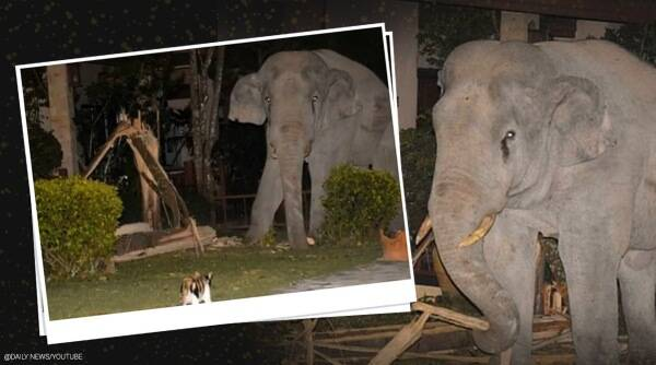 Pet cat chases elephant, Thailand, cat elephant chase, cat and elephant viral video, Thailand news, Viral video, Trending news, Indian Express news.