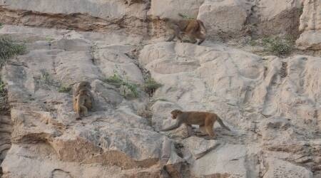 Rhesus Macaque, Haryana Rhesus Macaque, Rhesus Macaque population