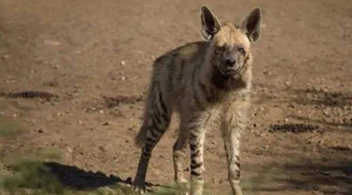 Ahmedabad arrest, hyena death, hyena beten to death, hyena killed, Ahmedabad news, Gujarat news, Indian express news