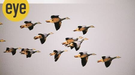 geese, gaggle family, ranjit lal column, sundayeye, eye2020, indianexpress, ranjit lal
